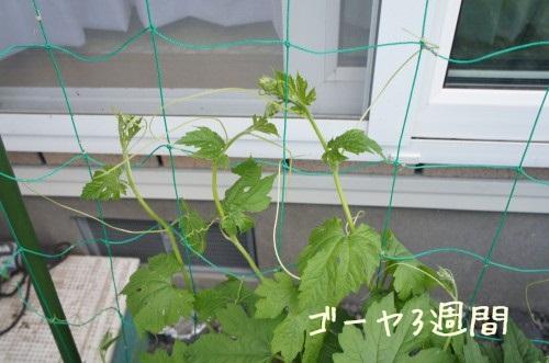 家庭菜園 ゴーヤ栽培