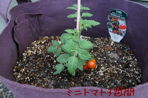 ミニトマト 家庭菜園