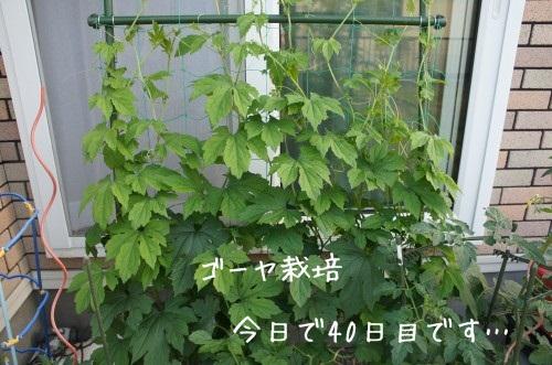 ゴーヤ2013年40日目