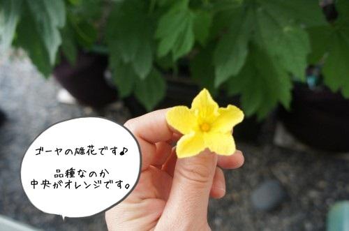 ゴーヤの雄花