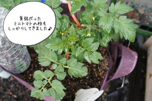 ミニトマト1か月