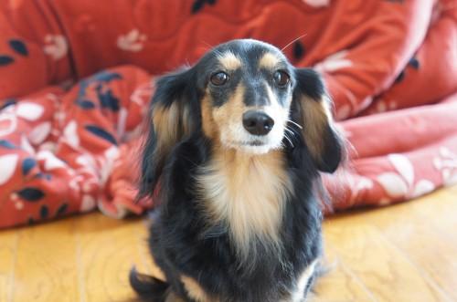 シニア犬 カニヘンダックス