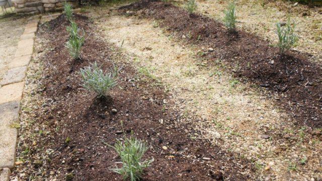 ラベンダーグロッソ 植え付け1か月