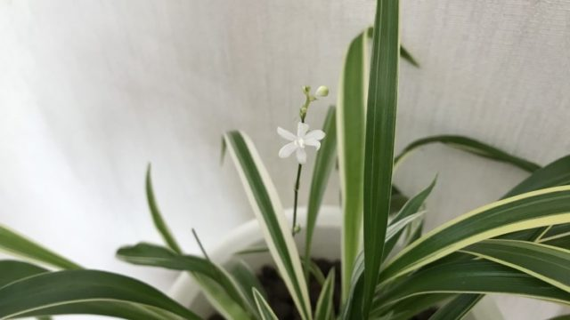 オリヅルラン 花