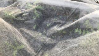 花壇 ネモフィラ