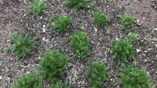 越冬後の露地栽培ジャーマンカモミール