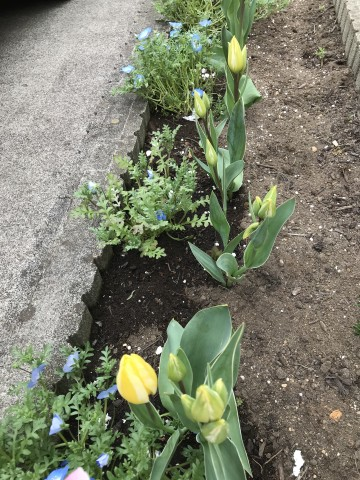 ネモフィラ 花壇
