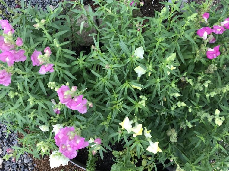 金魚草 2番花